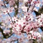printemps-rose