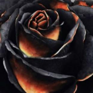 Black Rose Wars : La rose a des épines…